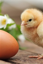 Preview iPhone wallpaper Furry chicken and egg