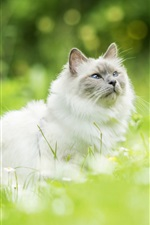 Preview iPhone wallpaper Furry white kitten look up, grass