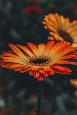 Gerbera, orange flowers, bokeh