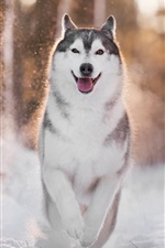 Husky dog walk in the snow, winter, backlight
