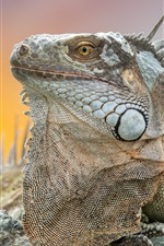 Preview iPhone wallpaper Iguana, animal close-up
