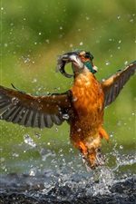 Preview iPhone wallpaper Kingfisher catch a fish, flight, wings, water drops