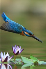 Preview iPhone wallpaper Kingfisher flight, water lily, pond