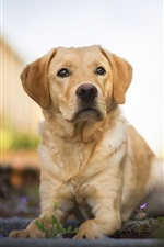 Preview iPhone wallpaper Labrador Retriever, dog, rest