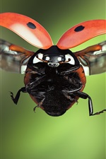 Preview iPhone wallpaper Ladybug flight, wings, insect macro photography