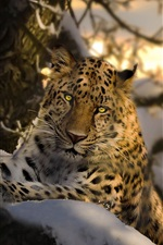 Preview iPhone wallpaper Leopard, yellow eyes, tree, snow, winter
