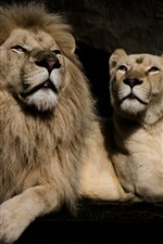 Preview iPhone wallpaper Lion and lioness