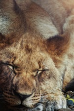 Lion sleeping, close eyes, stones