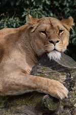 Preview iPhone wallpaper Lioness rest on tree