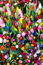 iPhone fondos de pantalla Muchos tulipanes, flores de colores, felicitaciones