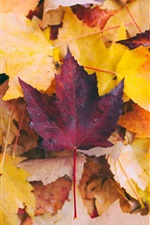 Preview iPhone wallpaper Maple leaves, yellow and red, water drops