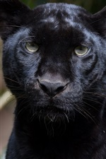 Preview iPhone wallpaper Panther, front view, face, black leopard