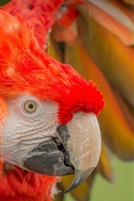 Preview iPhone wallpaper Parrot, wing, beak, red feather