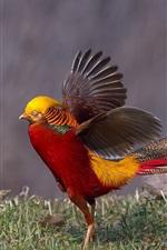 Pheasant, wings, grass