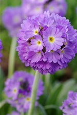 Preview iPhone wallpaper Pink flowers balls, primula