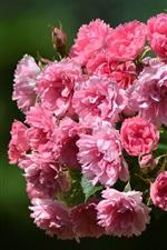 Pink flowers, briar, bokeh