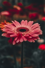 Preview iPhone wallpaper Pink gerbera flowers, bokeh