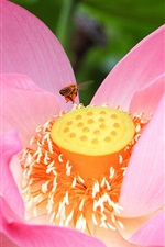 Preview iPhone wallpaper Pink lotus, bee, flower macro photography