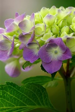 Preview iPhone wallpaper Purple and green hydrangea macro photography, inflorescence