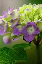 iPhone fondos de pantalla Macro fotografía de hydrangea morada y verde, inflorescencia