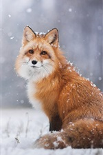 Preview iPhone wallpaper Red fox in the snowy winter