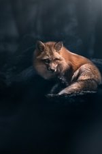 Preview iPhone wallpaper Red fox look, forest, light