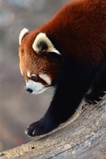 Preview iPhone wallpaper Red panda walk down from tree