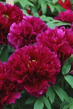 Red peonies, spring flowers