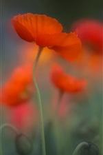 Red poppy flower, blurry