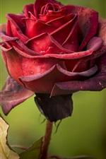 Preview iPhone wallpaper Red rose, petals, bokeh