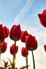 Red tulips, stems, blue sky