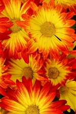 Red-yellow petals, chrysanthemum