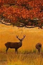 Richmond Park, deers, grama, árvore, outono, Londres, Inglaterra