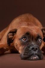 Sadness dog, rest, brown