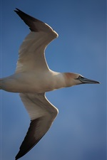 Preview iPhone wallpaper Seagull flight, wings, blue sky