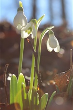 Preview iPhone wallpaper Snowdrops bloom, leaves, glare