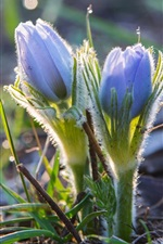 Preview iPhone wallpaper Spring, anemone, blue flowers, bokeh