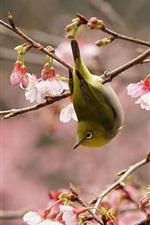 Vorschau des iPhone Hintergrundbilder Frühling, rosa Kirschblüte, Vogel