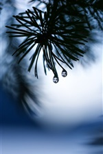 Spruce twigs, needles, water drops