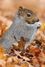 Preview iPhone wallpaper Squirrel and maple leaves, autumn