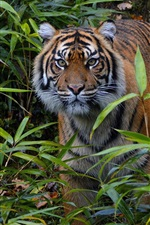 iPhone fondos de pantalla Tigre de Sumatra, observación, bambú