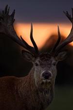 Sunset, deer, horns, backlight