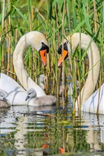 Swan family, pond, grass