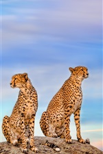 Preview iPhone wallpaper Two cheetahs, blue sky