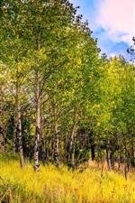 EUA, Colorado, álamo tremedor, grama, outono