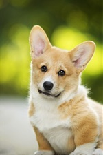 Preview iPhone wallpaper Welsh Corgi, cute dog