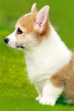 Preview iPhone wallpaper Welsh Corgi side view, puppy, grass