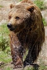 Preview iPhone wallpaper Wet brown bear, walk, grass