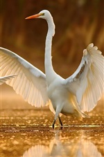 Preview iPhone wallpaper White egret dance in water