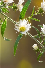 White flowers, spring, twigs